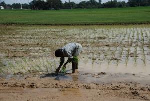 Rice Field -1