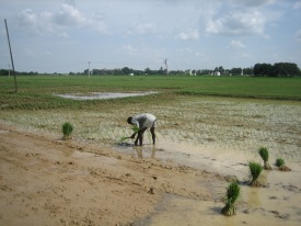 Rice Field -2