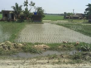 Rice Field -3