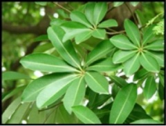 2. Chatim Leaves 1
