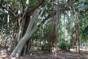 Banyan Tree - 2