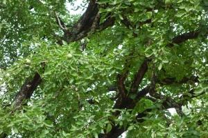 Mango Tree - 4