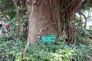 Shimul - red silk cotton tree