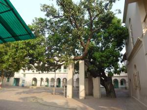 Swamiji's mango tree 1