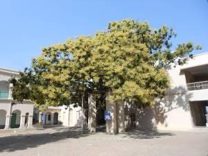 Swamiji's mango tree 2